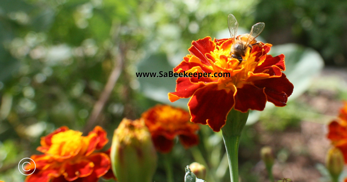 plenty healthy pollen available for the bees on marigold flowers