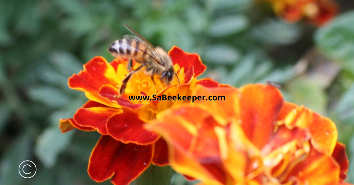 honey bee foraging on a french marigold flower