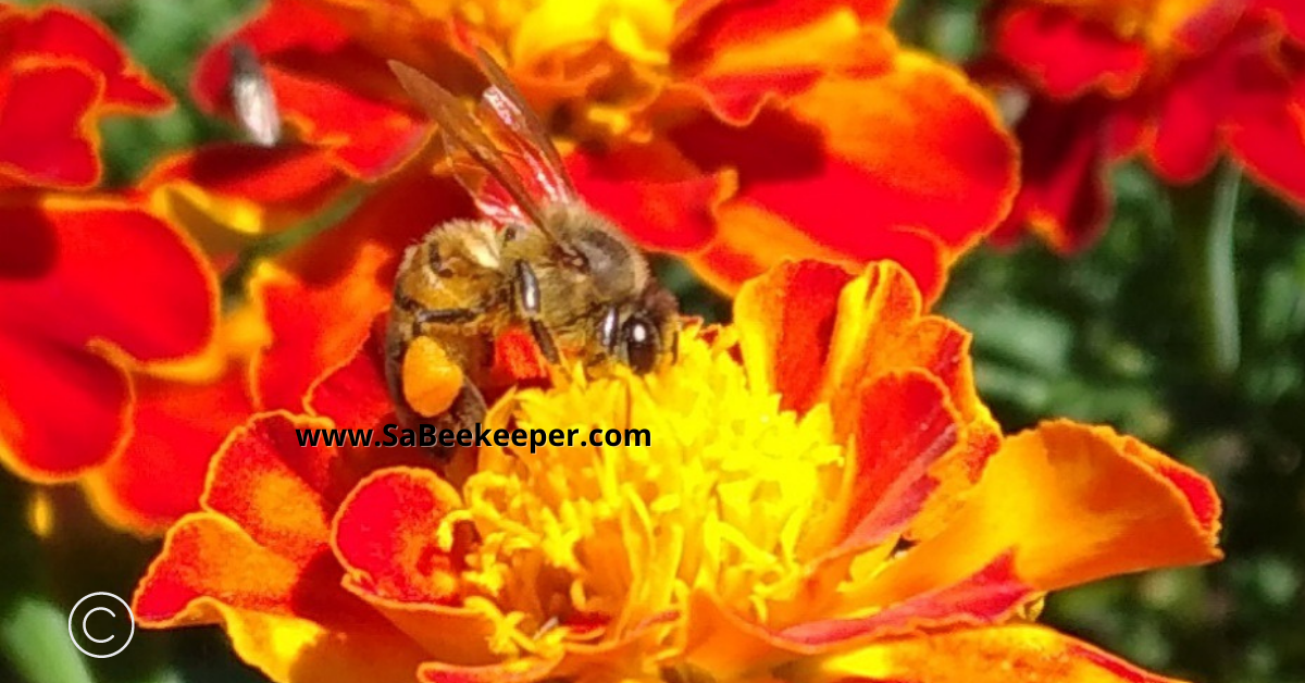 marigold flowers provide essential food for the bees and are attracted by the colors of the flowers