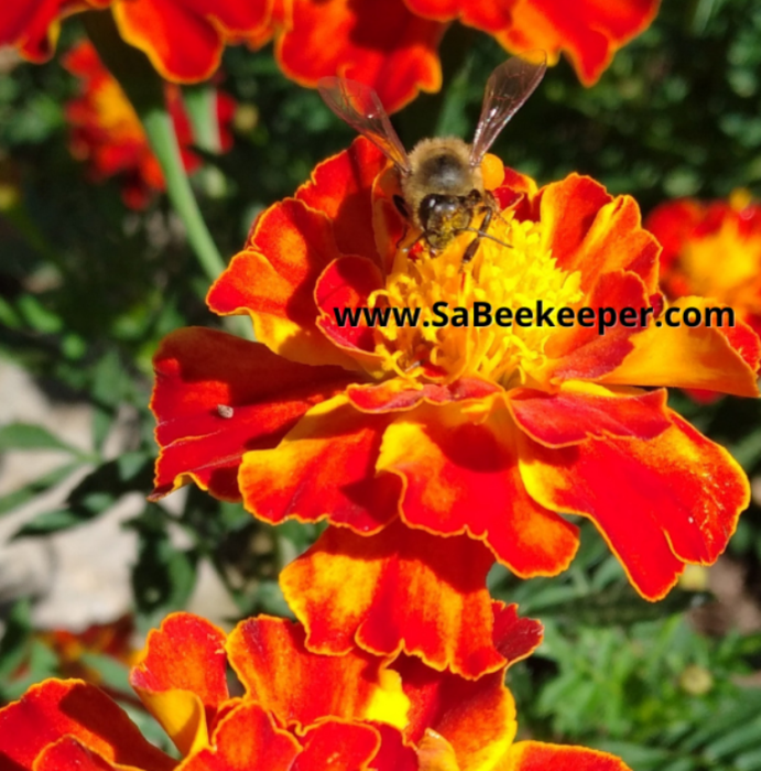 a close up of a honey bee on a french marigold flower. pollinating