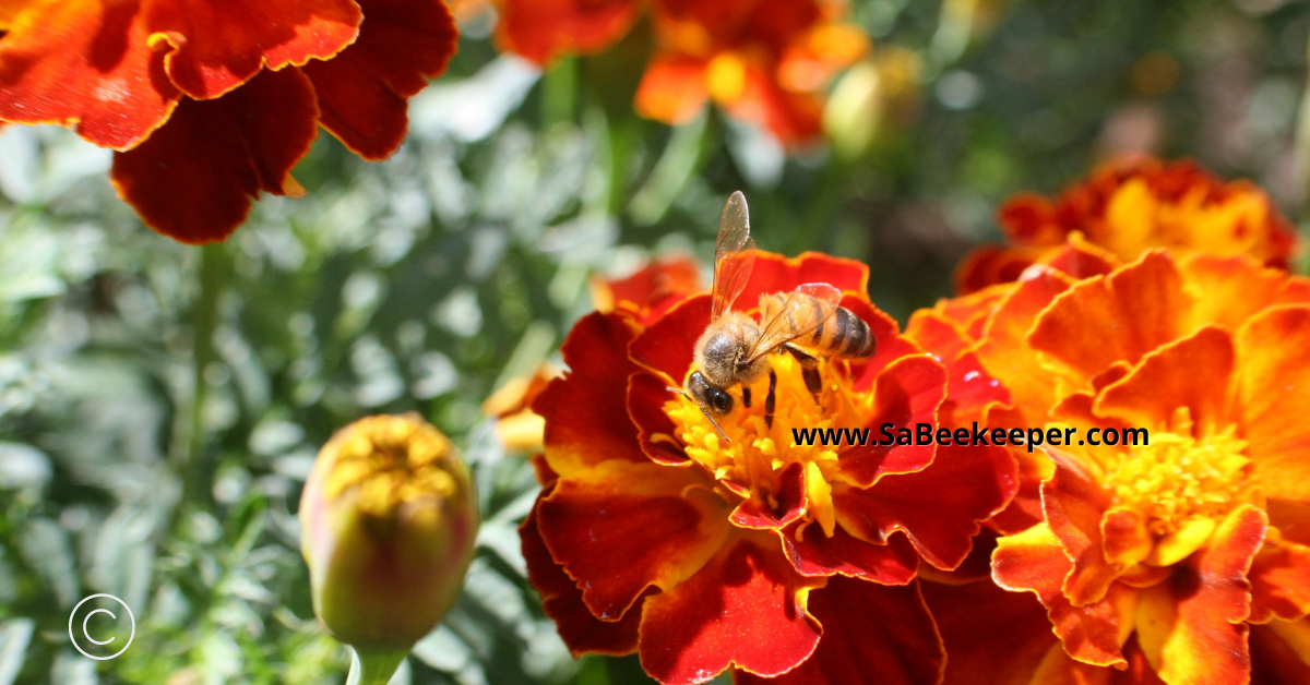 colorful french marigold flowers attract honey bees and other bees