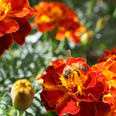 Pollinating Bees Attracted to Marigolds
