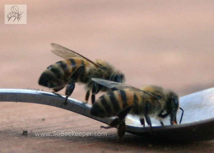 Ecuador honey bees that returned to home site after being moved to farm