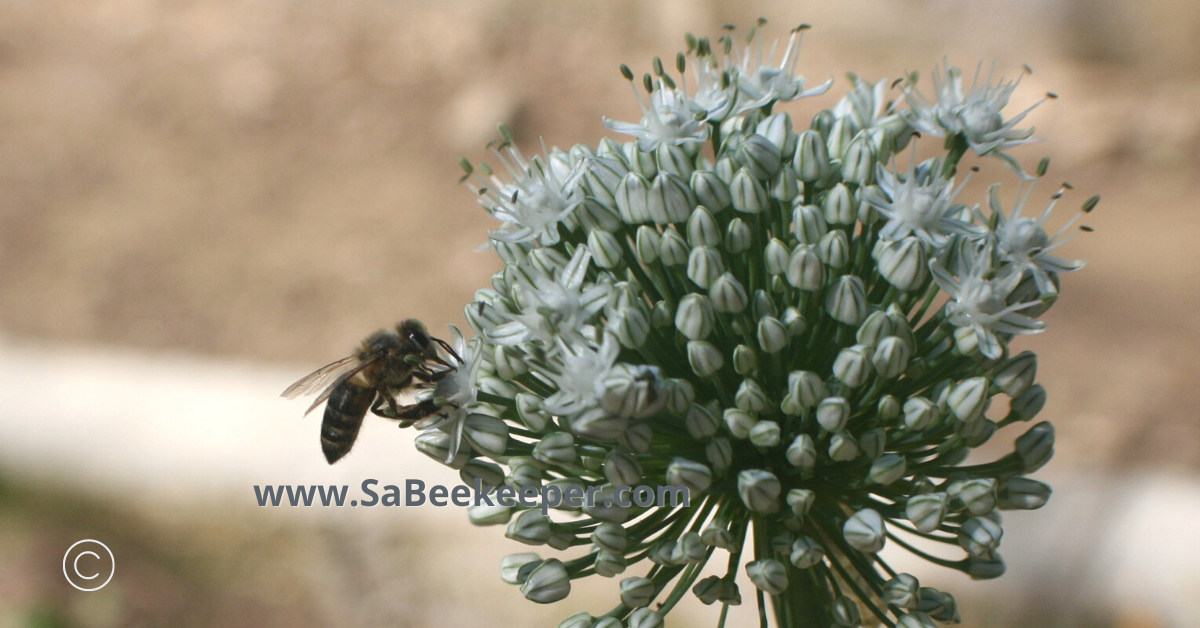 white onion flowers starting to open and flower to provide food for bees and get pollinated