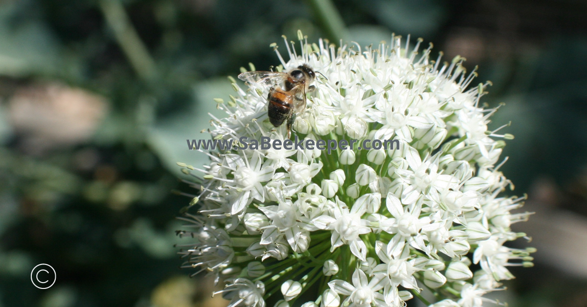 white flowering onion globe with bees foraging
