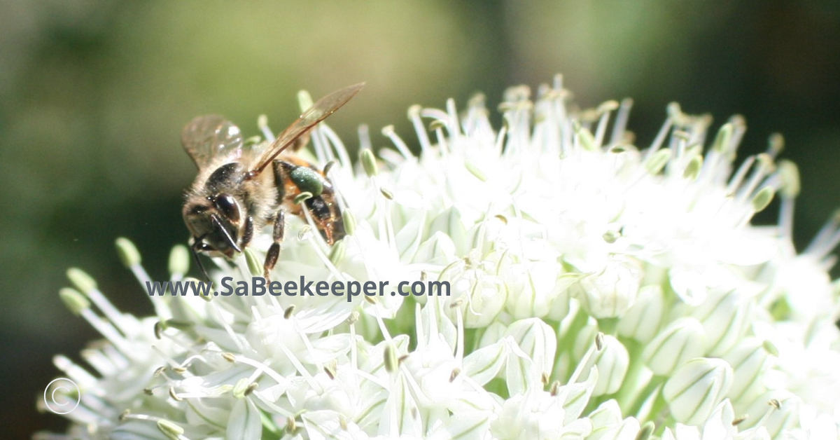 close up of a honey bee foraging on tiny white onion flowers