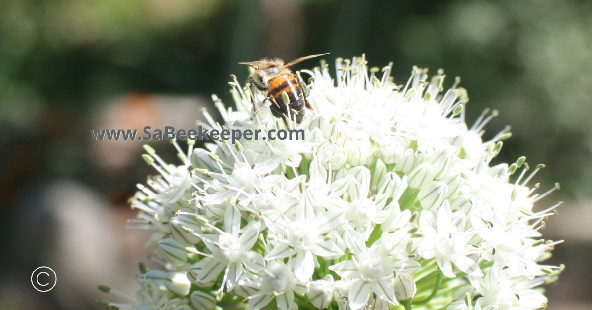a white ball of small onion flowers and Africanized honey bee foraging