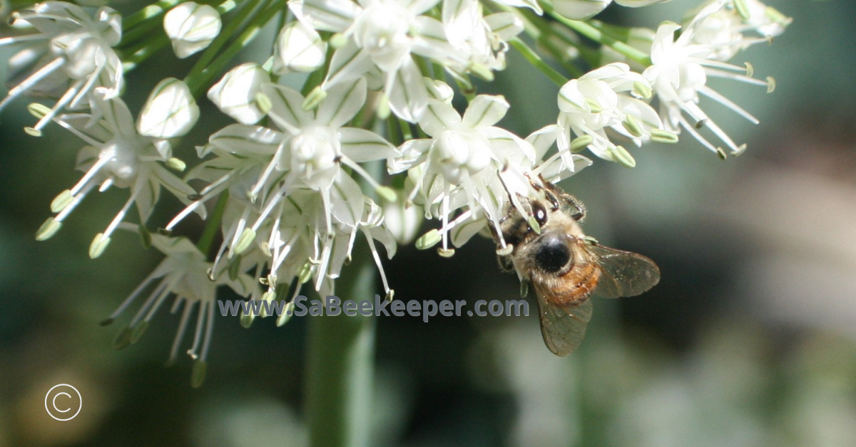 honey bee foraging on white onion flowers