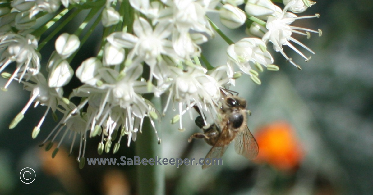 bees foraging on small onion flowers