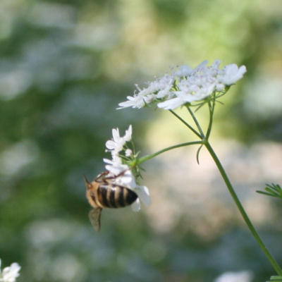 Coriander Flowers Pollinated by Bees