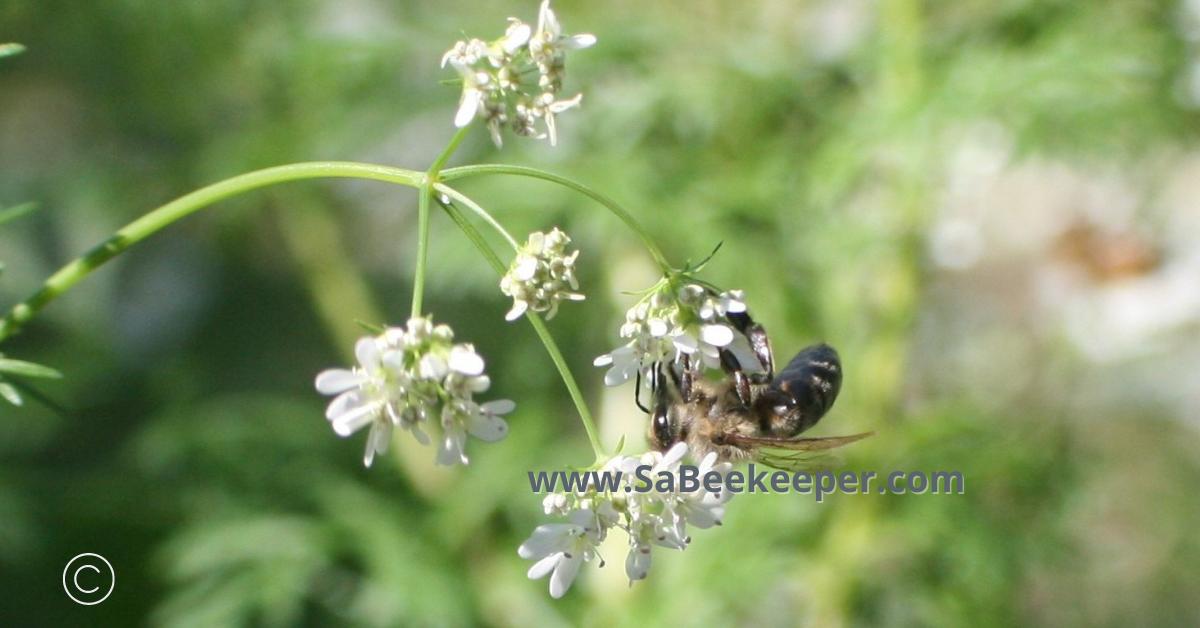 a dark honey bee from Ecuador on a cilantro flower