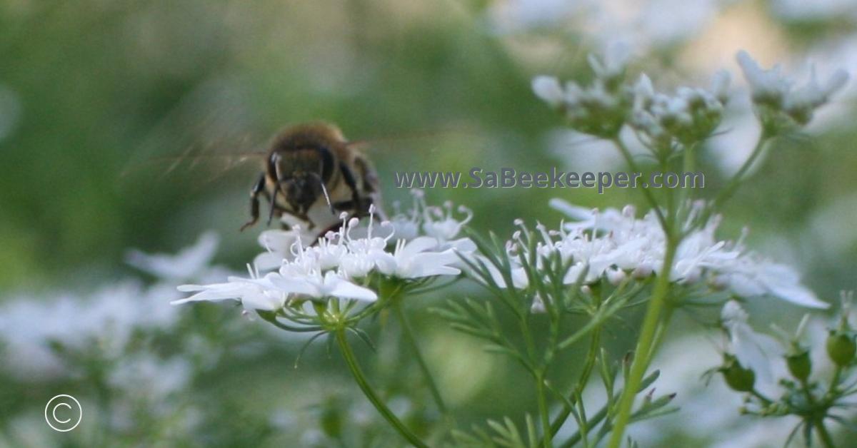 a honey bee landing on the cilantro flower
