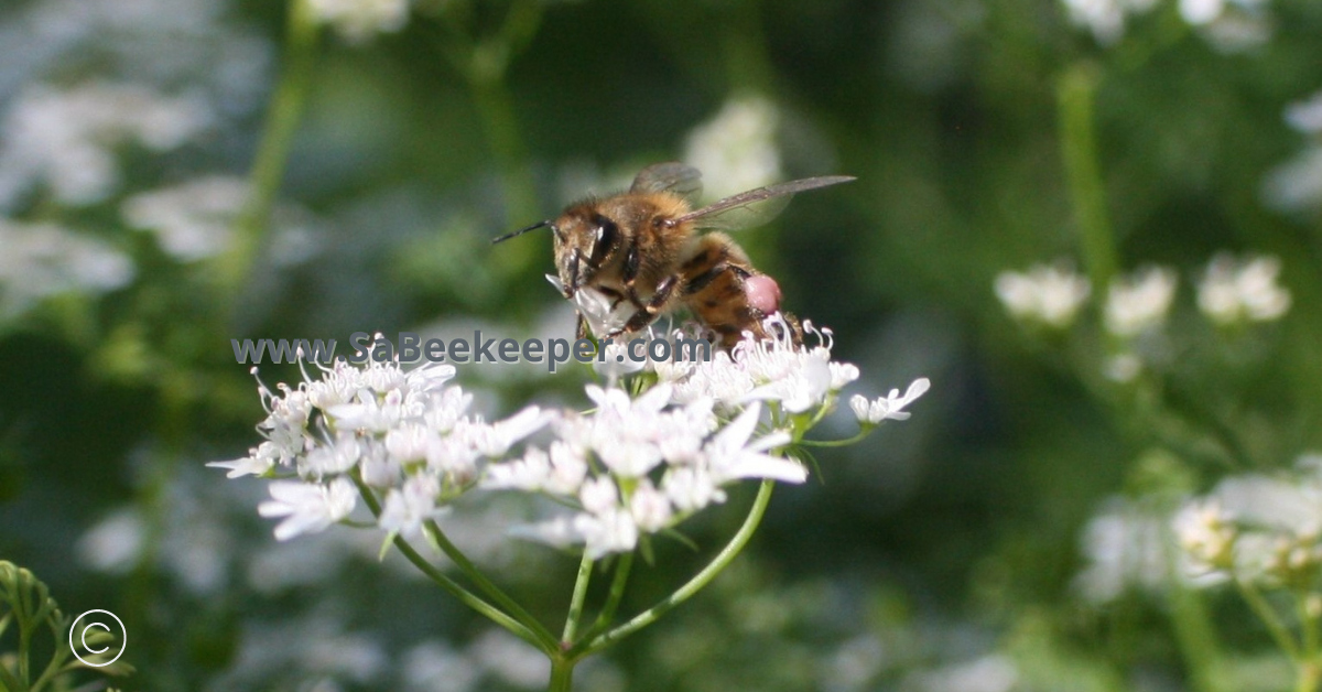 a honey bee with pinkish pollen