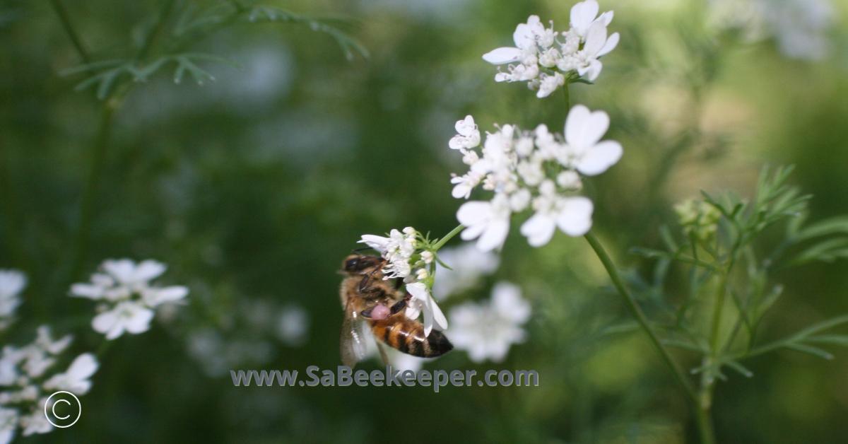 honey bee and pink pollen