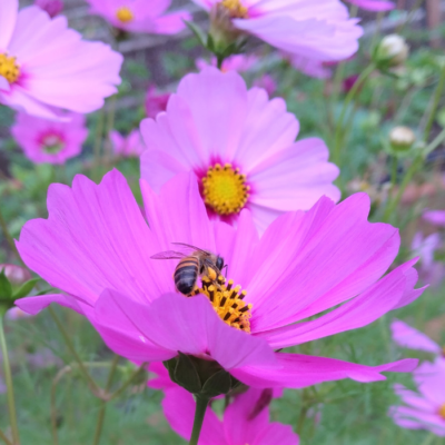 Colorful Cosmos Flowers Attract Bees