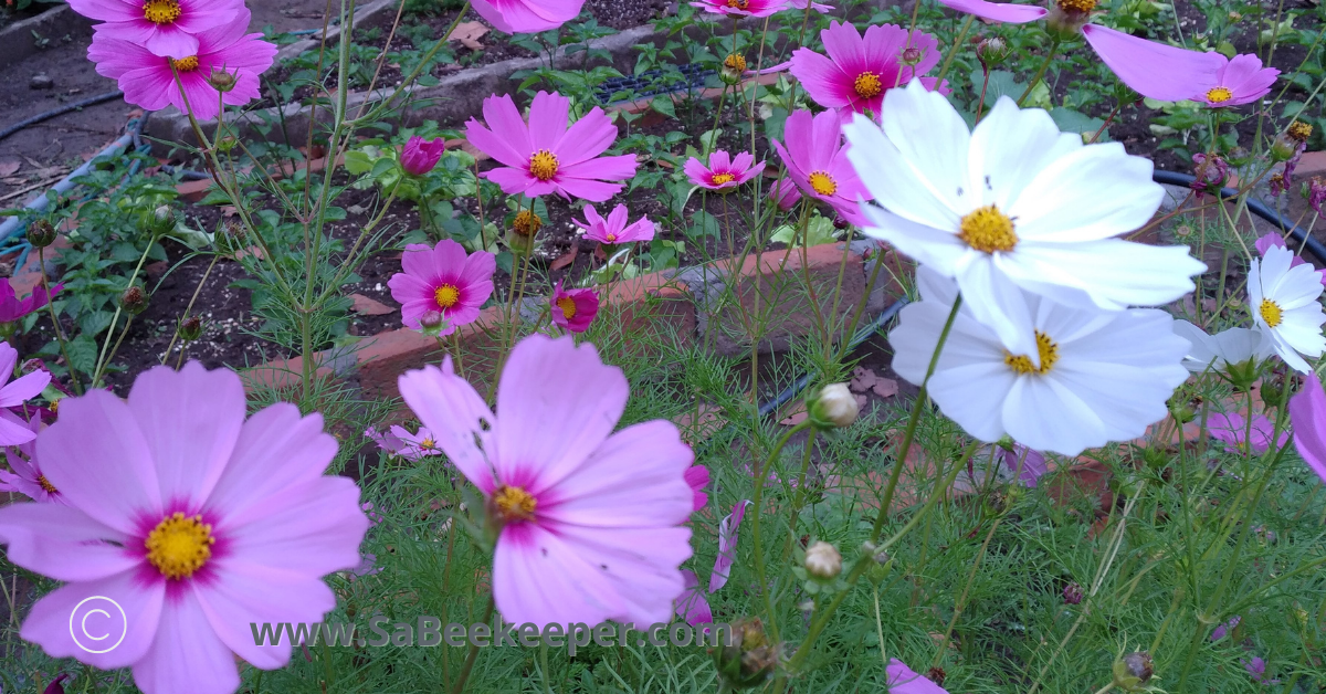 a garden of white pink and purple cosmos flowers