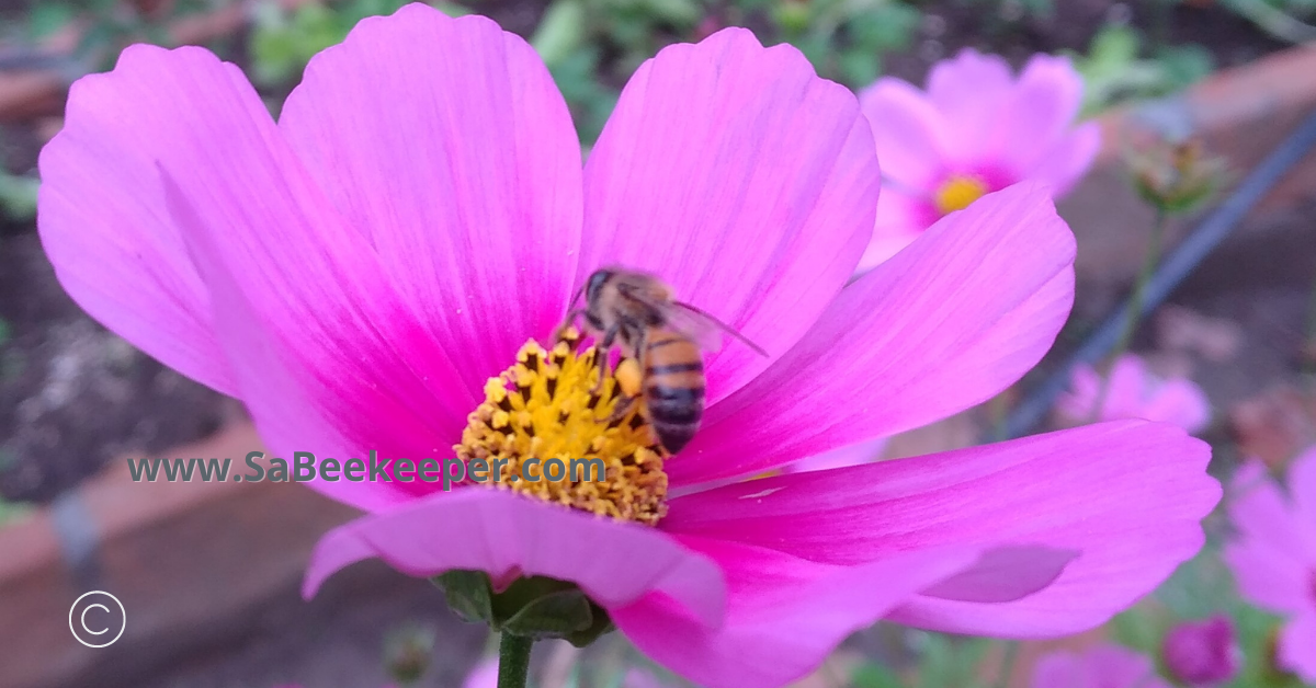 pink cosmos or lilac and foraging honey bee