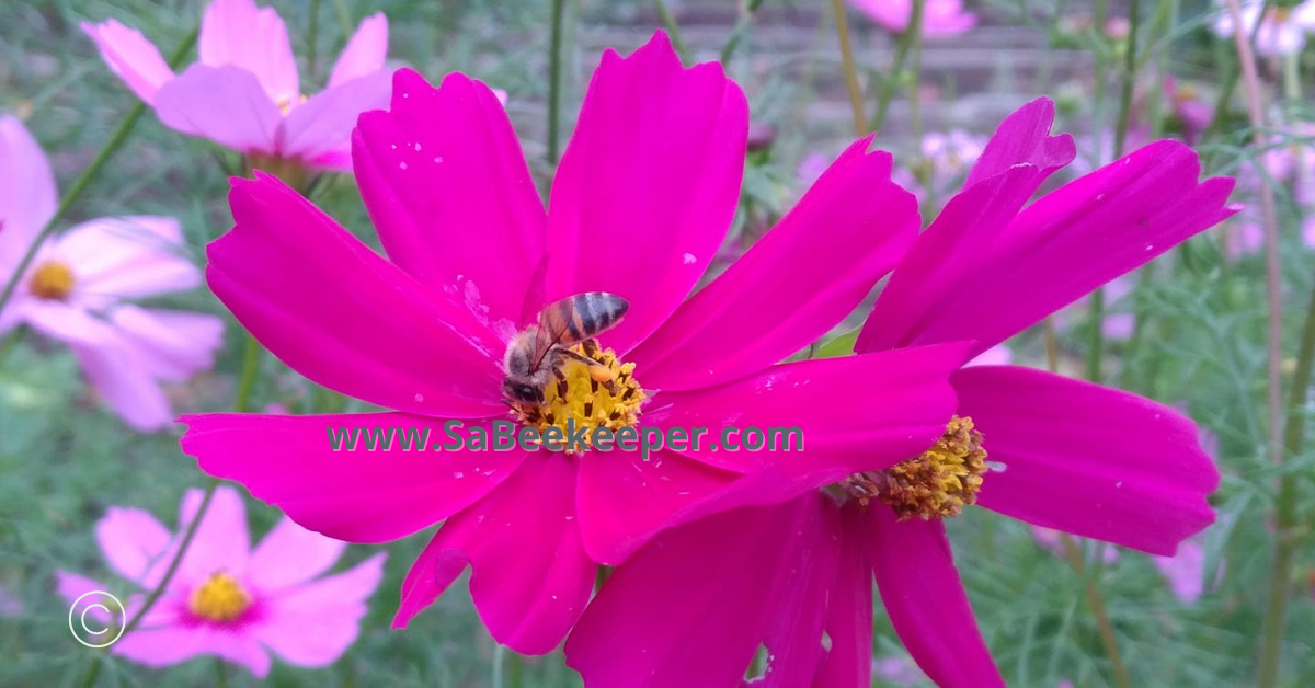 purple cosmos flowers and the honey bee