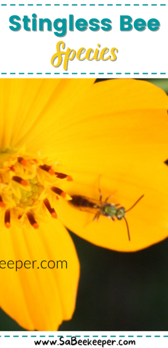 The stingless honey bee
