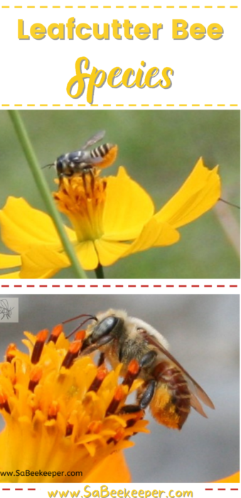 The different leafcutter bee species