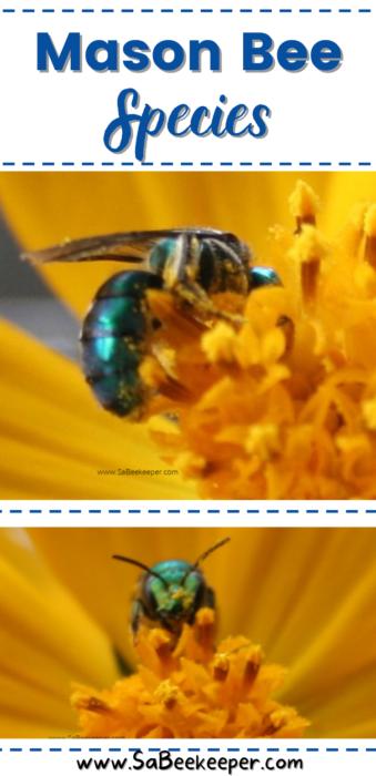 The mason bee species