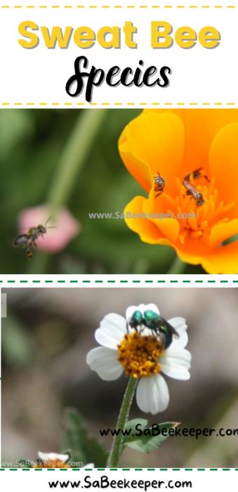 The sweat bee species