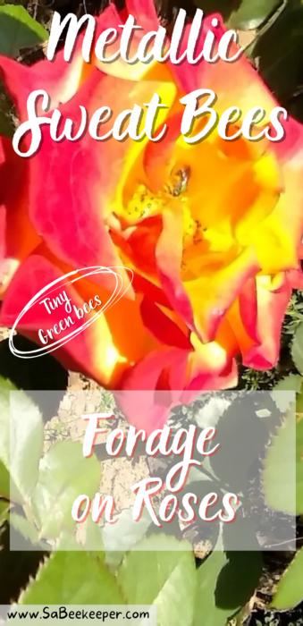 a Pinterest photo of metallic sweat bees forage on roses. #rosesforagedbysweatbees #sweatbeesforageonroses #beesforageonroses #openrosesandgeesforaging