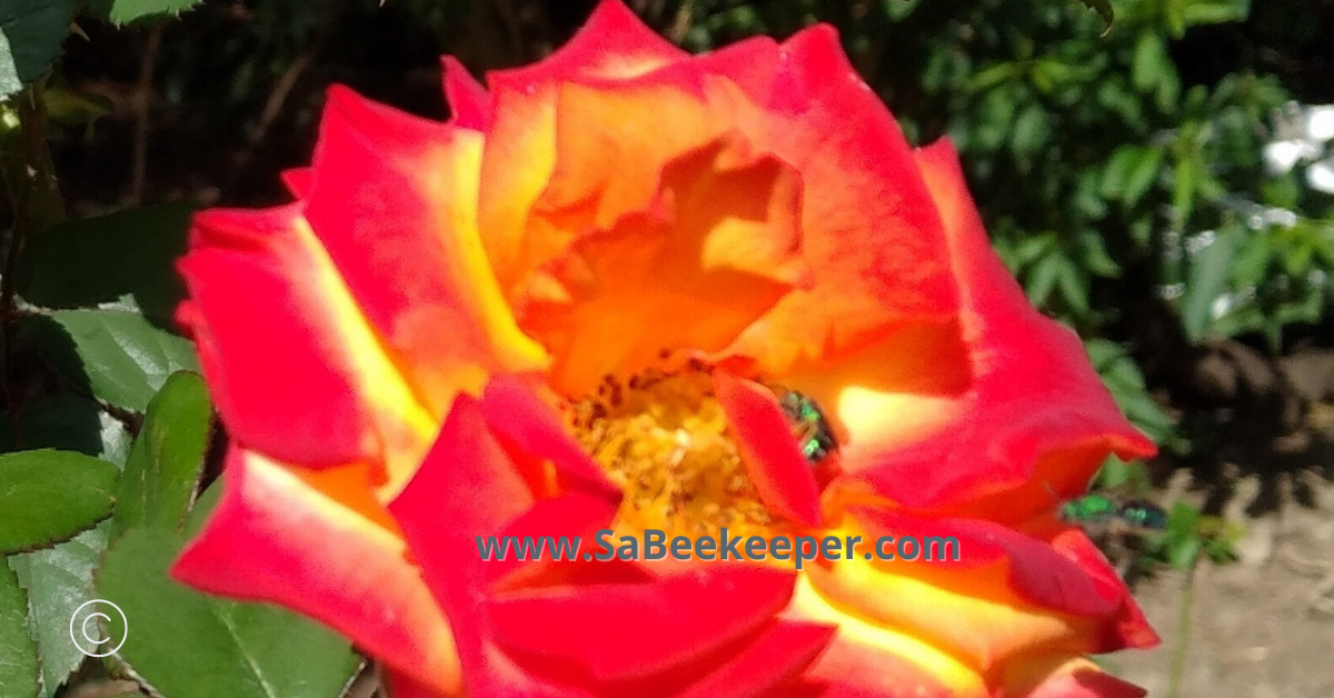 roses and sweat bees foraging