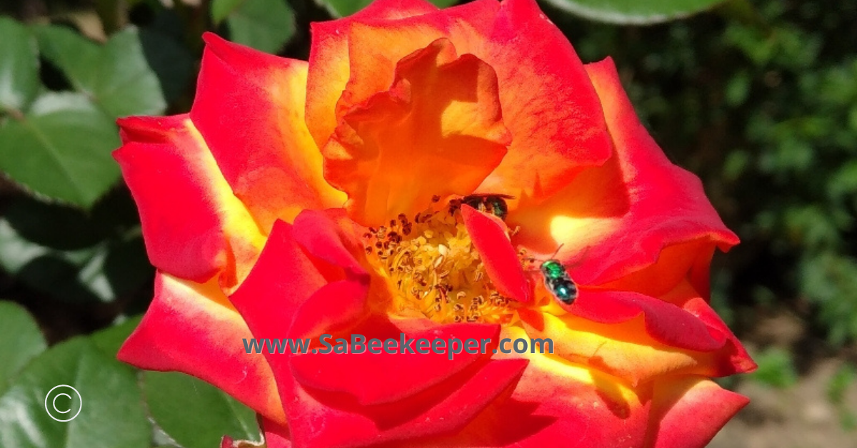 a few green sweat bees on pretty open roses foraging