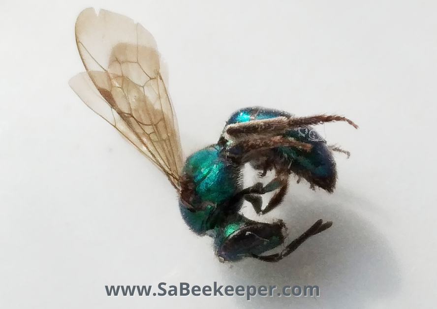 a green sweat bee that is full of grit and dirt. died in a window