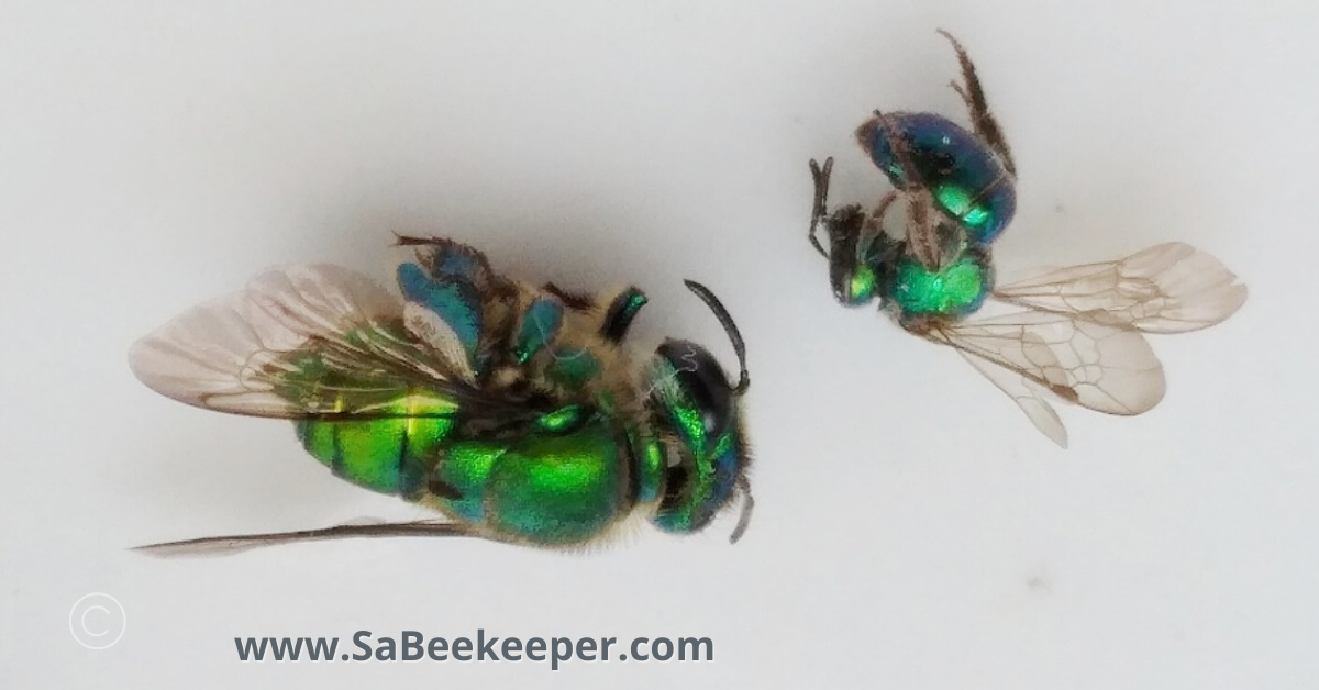 an metallic orchard bee and a metallic green sweat bee dead